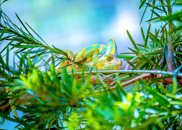 A Chameleon in the Trees