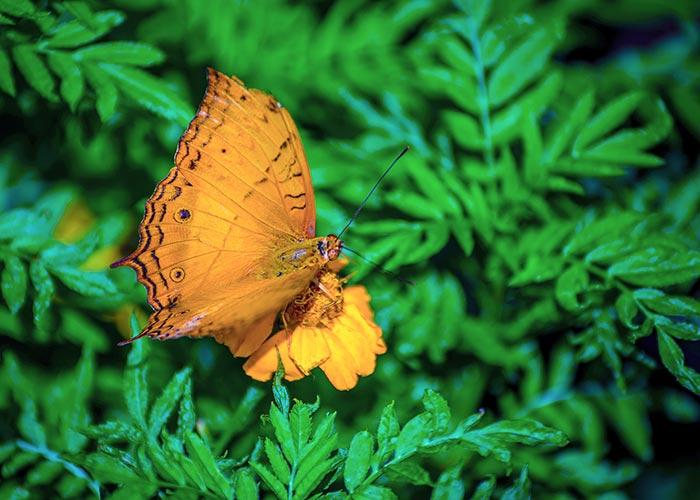 A Cruiser Butterfly