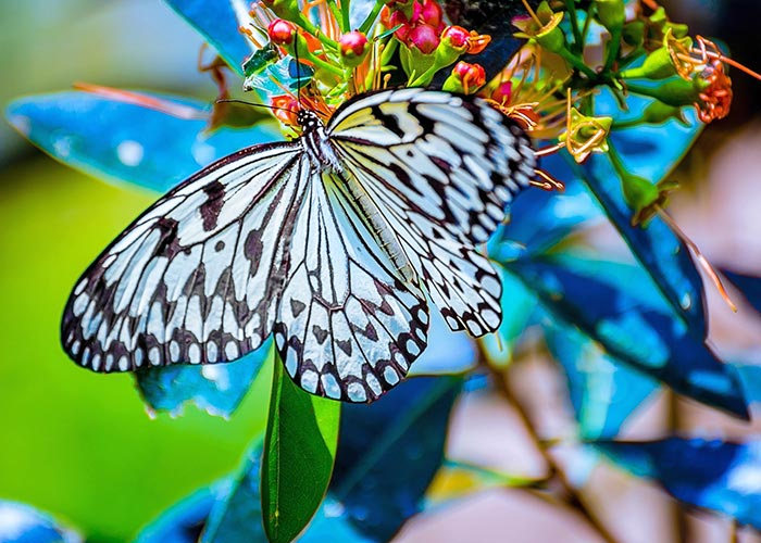 A Paper Kite Butterfly_1