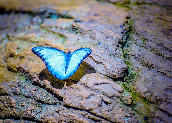 A Blue Butterfly on a Rock.