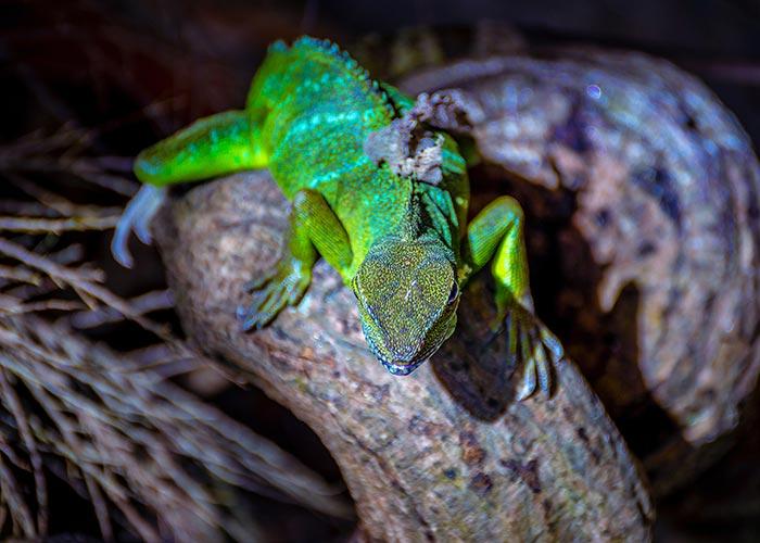 A Green Lizard on a Branch