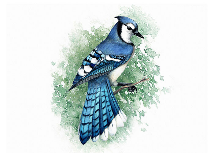 Blue Jay Watercolor Painting