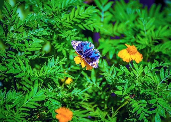 Blue Tansy Butterfly_3