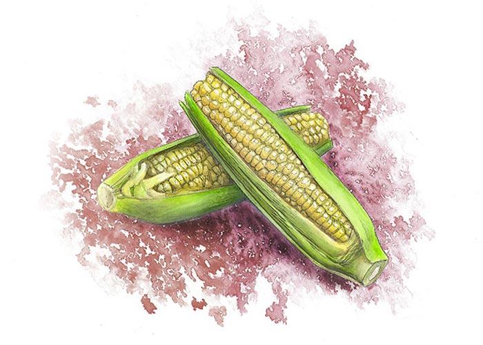Corns Watercolor Illustration