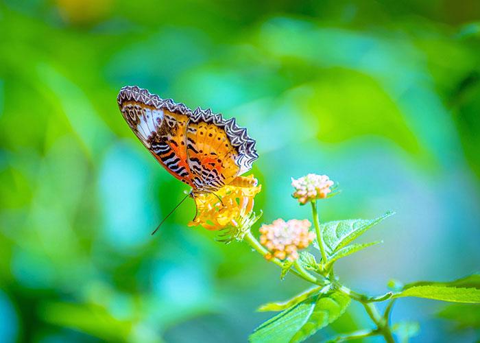 A Leopard Lacewings Butterfly_1