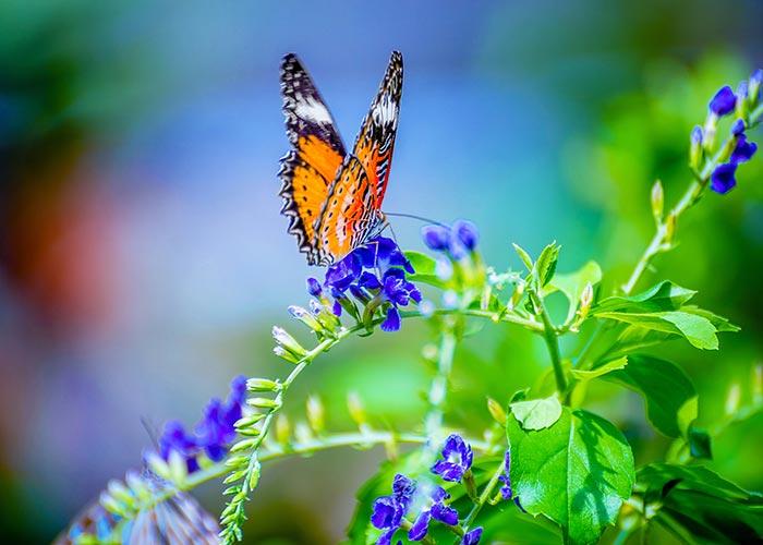 A Leopard Lacewings Butterfly_4
