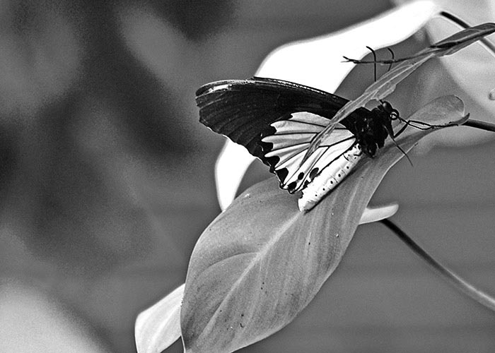 Black & White Photography : A Butterfly