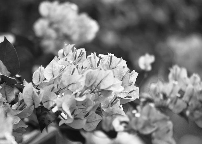 Black & White Photography : Cherry Blossom