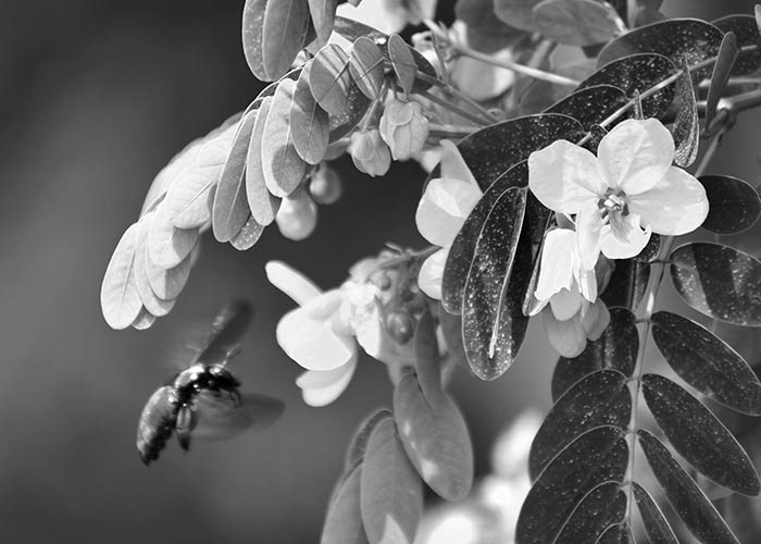 Black & White Photography : A flying beetle
