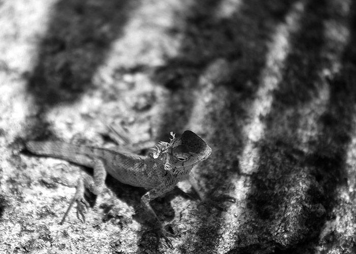 Black & White Photography A Lizard