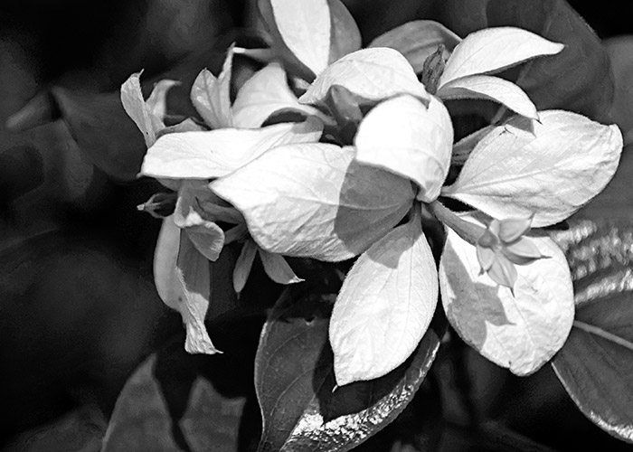 Black & White Photography : white flower