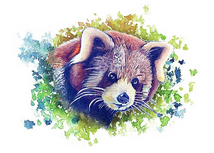 Watercolor Painting of a red panda