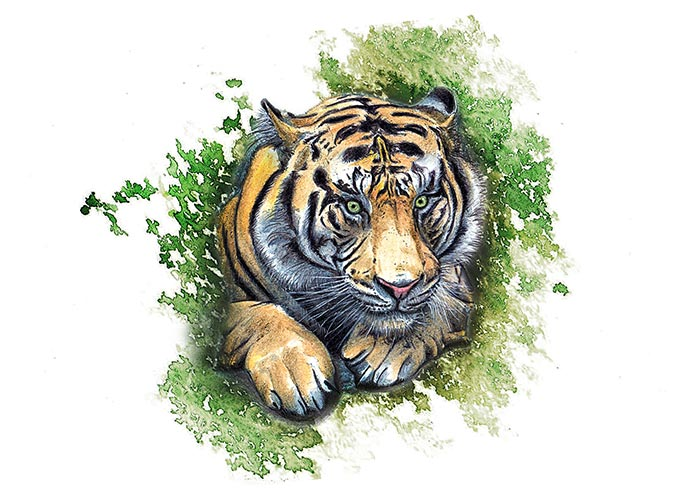 Colored Pencils drawing of Sumatran Tiger